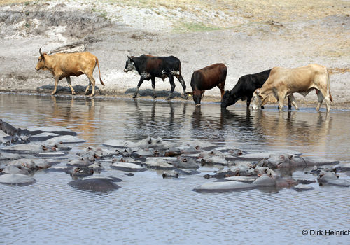 Cattle quench their thirst while the hippos are dozing in the middle of the large pond.
