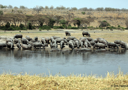 When the relentless heat subsides, the animals venture out of the water and congregate on the riverbank. The row of trees and the hill in the background are on the Botswana side of the border. From there, mainly elephants and Cape buffaloes cross over to drink from this waterhole.