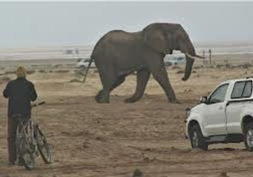 On 24 December an elephant bull was sighted just outside Swakopmund. The bull had walked apparently from the Omaruru River. Police and staff from the Ministry of Environment and Tourism successfully escorted the elephant with their cars back into the Namib Desert. Photo by: Adam Hartmann, The Namibian