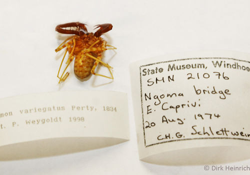 This specimen of the Damus variegatus whip spider was one of the first to find its way into the National Museum in Windhoek. Finance minister Calle Schlettwein found it in August 1974 at the Ngoma Bridge in north-eastern Namibia. At that time he worked as entomologist at the Directorate for Water Management.