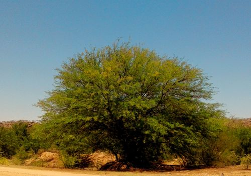 A large Prosopis tree just outside Windhoek with its evergreen leaves. Photo by: Brigitte Weidlich