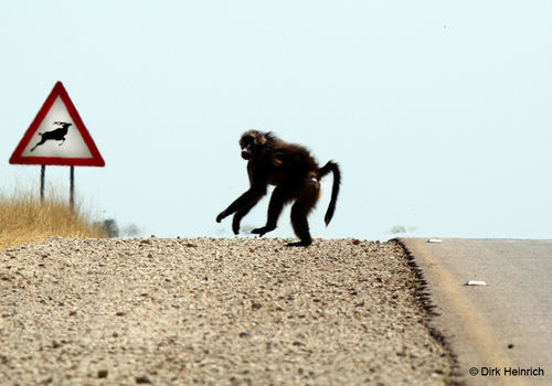 Various different traffic signs in Namibia warn of wild animals or livestock that may cross the road and require caution. This picture shows the common warning sign depicting a kudu, while a baboon crosses the road.