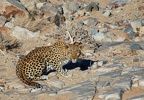 A leopard in the Gondwana Canyon Park in southern Namibia. Photo: Fritz Curschmann